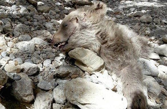 سقوط از ارتفاع توله خرس، برایش مرگ آفرید