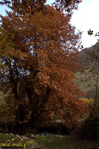 چنار کی قباد ثبت ملی شد