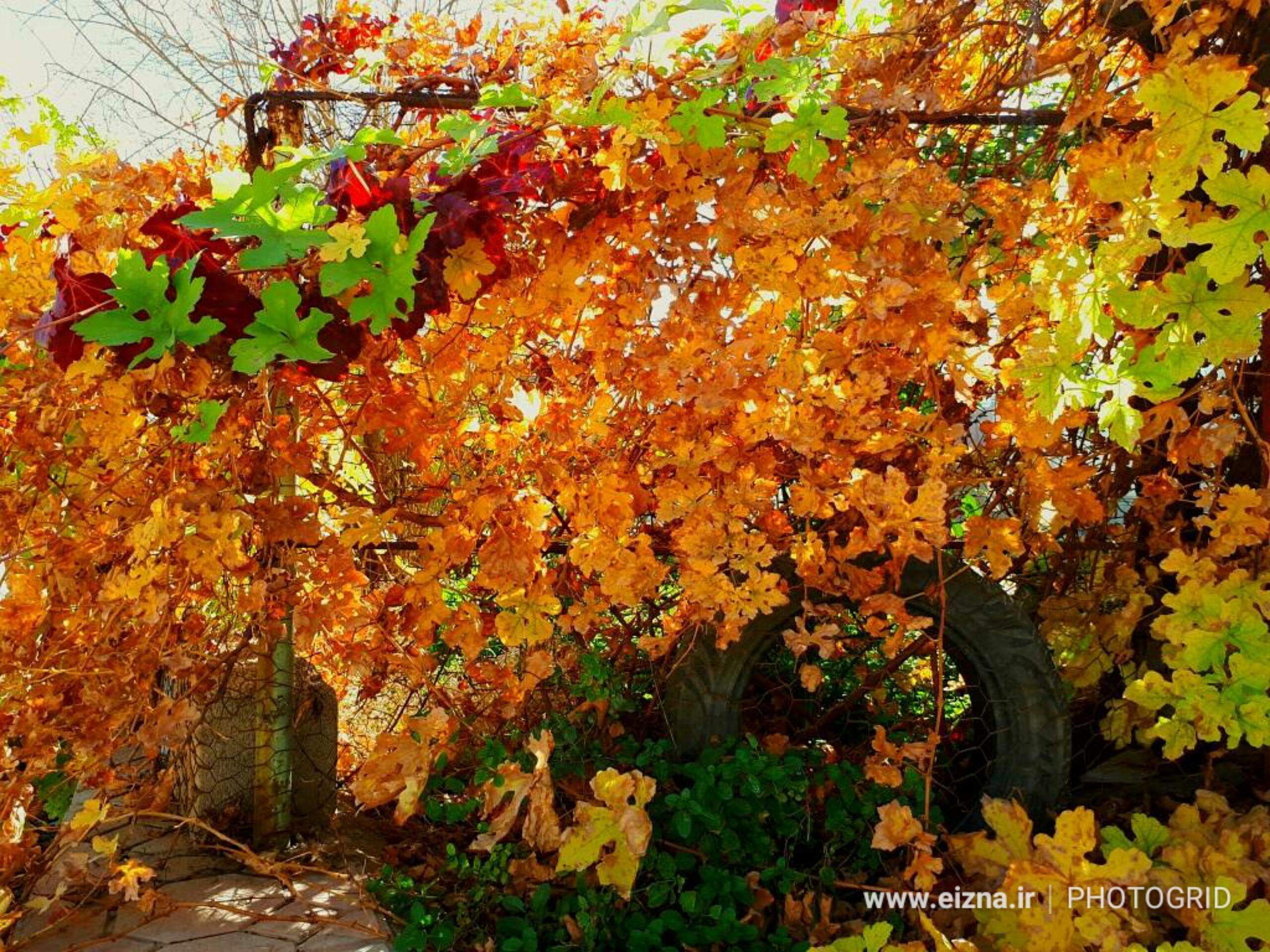 عکس/خودنمایی برگهای پاییزی درختان در هوای بهاری زمستان ایذه
