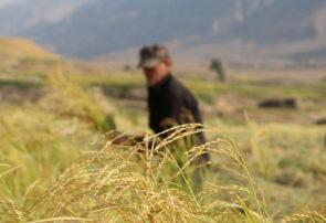 پیشبینی برداشت ۴٫۵ تن برنج در هرهکتار زمین در ایذه