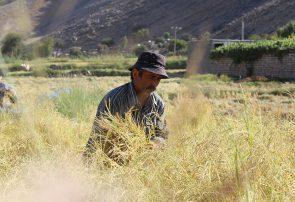 گزارش تصویری؛ برداشت برنج از شالیزارهای بخش سوسن