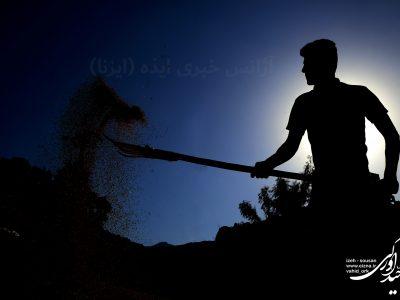 عکس   تهیه «گمک» از برنج تازه برداشت شده در بخش سوسن